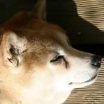 タバコ屋の看板犬、シバちゃんが可愛い♪