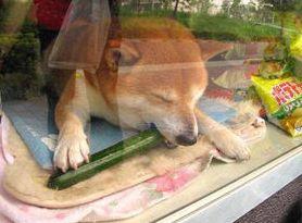 きゅうりを食べるシバちゃん