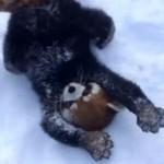 雪に大はしゃぎのレッサーパンダ^^