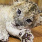 富士サファリパークの赤ちゃんライオンが可愛い♡