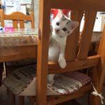 【最後まで読んでください!】スコティッシュフォールドの子猫、大福ちゃんがめちゃくちゃ可愛いんです!!