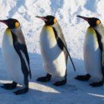 えー!?知らなかった!そこ剥がれちゃうんだ!!旭山動物園のキングペンギンについてのツイートが話題に!